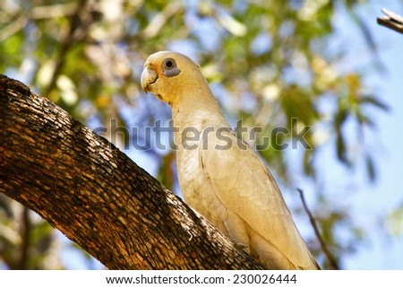 Sulphur Crested Cockatoo - stock photo