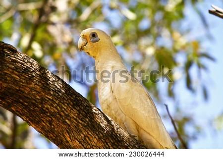 Sulphur Crested Cockatoo - stock photo