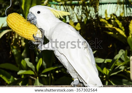 Sulphur-crested cockatoo are popular pets in some southeast asian countries / Cockatoo / Today's younger generation do not keep caged or chained animal as pets - stock photo