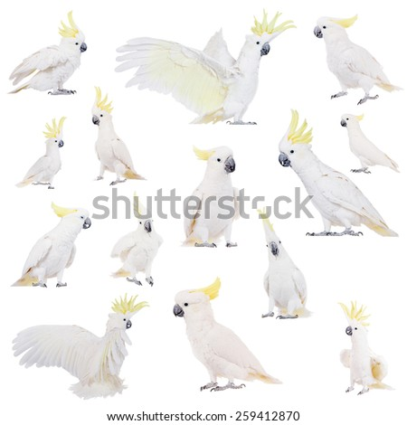 Sulphur-crested Cockatoo, Cacatua galerita, isolated over white background