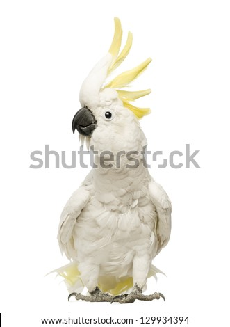 Sulphur-crested Cockatoo, Cacatua galerita, 30 years old, with crest up in front of white background - stock photo