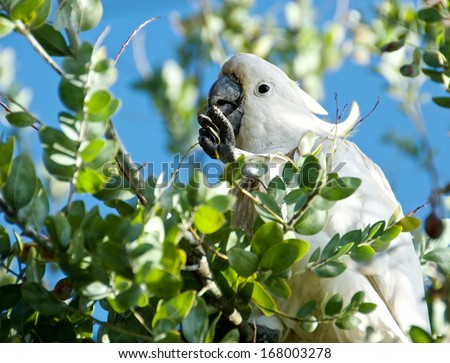 Sulphur-crested Cockatoo, Cacatua galleria,large white cockatoo popular in Australia and New Guinea,big white parrot in green blur background,parrot isolated on tree background, selective focus to eye - stock photo