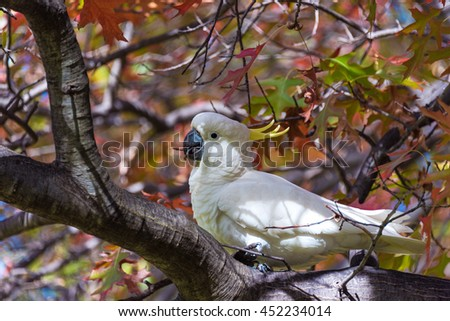 Sulphur crested Cockatoo on a tree with autumn leaves. White and yellow bird on autumn background - stock photo