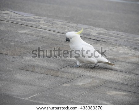 Sulphur-crested cockatoo on ground - stock photo