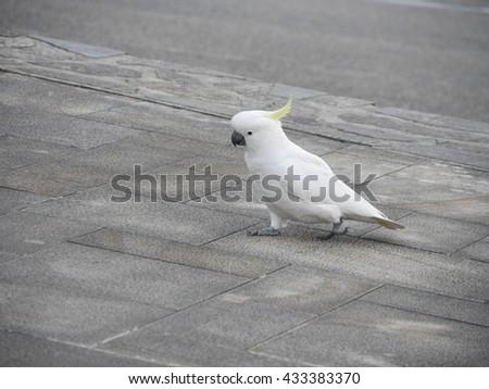 Sulphur-crested cockatoo on ground - stock photo