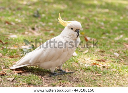 Sulphur crested Cockatoo Parrot in Sydney Park. - stock photo