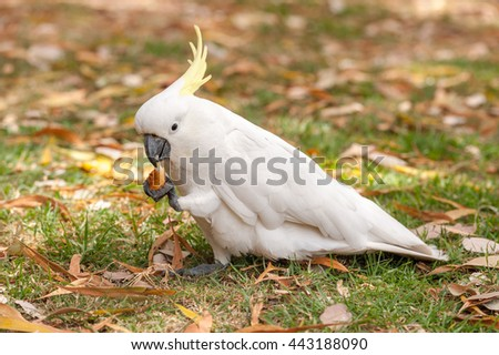 Sulphur crested Cockatoo Parrot in Sydney Park. Royal Botanic Gardens. Eating.  - stock photo