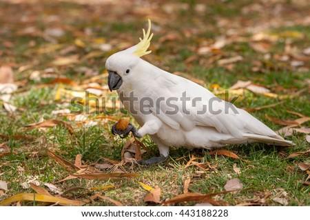 Sulphur crested Cockatoo Parrot in Sydney Park. Royal Botanic Gardens. Eating Tourist Food. - stock photo
