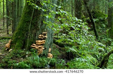 Sulphur Shelf fungi closeup on oak tree in autumnal stand of Bialowieza Forest, Bialowieza Forest, Poland, Europe - stock photo