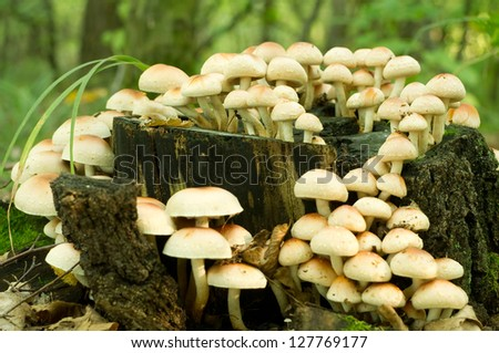 Sulphur Tuft fungus (Hypholoma fasiculare) growing on an old mossy tree stump