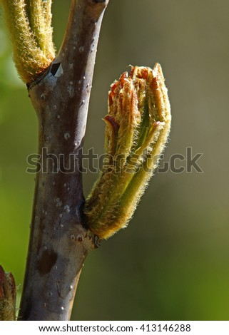 Sumac buds beginning to open.