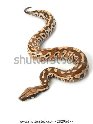 Sumatran Red Blood Python (Python curtis curtis) isolated on white background. - stock photo