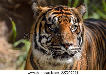 Sumatran Tiger at animal reserve - stock photo