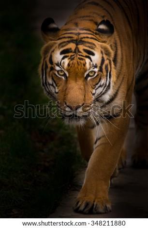 Sumatran Tiger close-up.  - stock photo