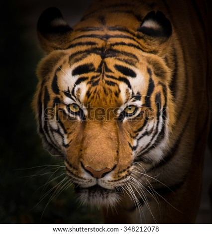 Sumatran Tiger close-up.  - stock photo