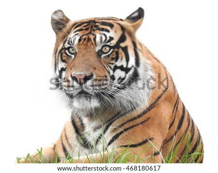 Sumatran Tiger isolated on white background