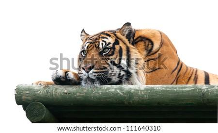 Sumatran Tiger Lying on Wooden Platform Isolated Panthera Tigris Sumatrae - stock photo