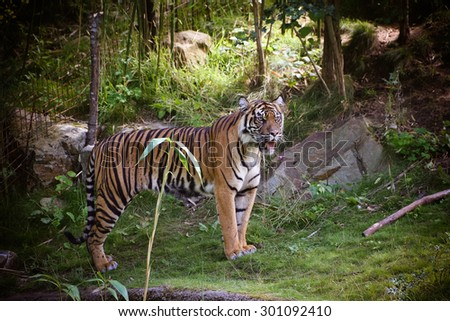Sumatran Tiger (Panthera tigris sumatrae) in a forest