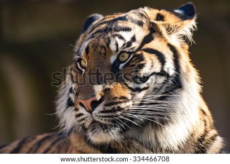 Sumatran tiger (Panthera tigris sumatrae) is a rare tiger subspecies that inhabits the Indonesian island of Sumatra - stock photo