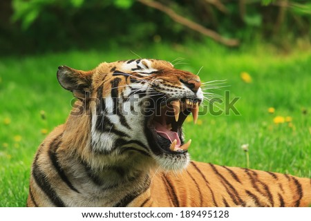 Sumatran tiger showing teeth  - stock photo