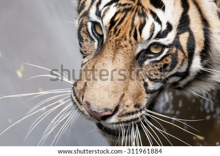 Sumatran Tiger Swimming - stock photo