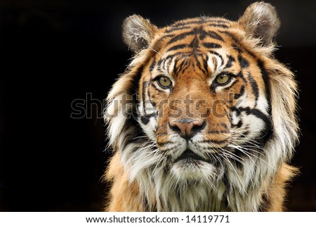 Sumatran Tiger with aggressive look on his face. - stock photo