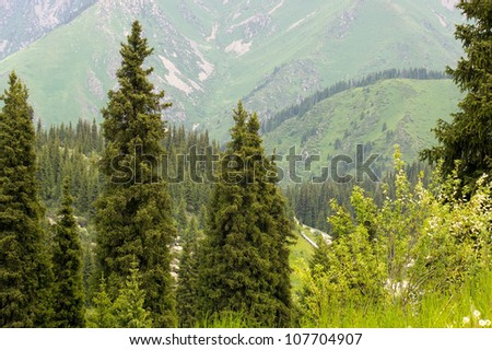Summer alpine forests - fir forest in mountains