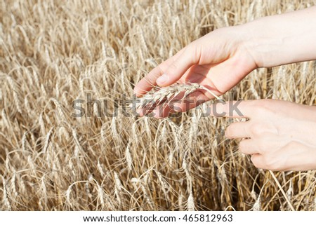 Summer. August. The time to harvest. Female hands. Ripe spikelets spikelets in his hand.