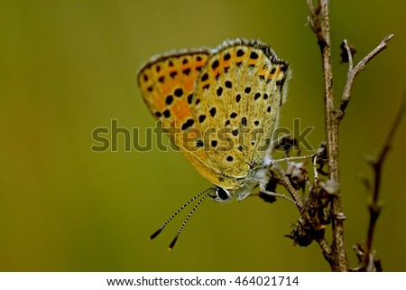 Summer Azure Butterfly perched on a dead blade of gras