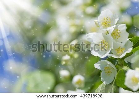 Summer background with blooming jasmine in the sunshine - stock photo