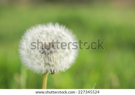 Summer background with dandelion - stock photo