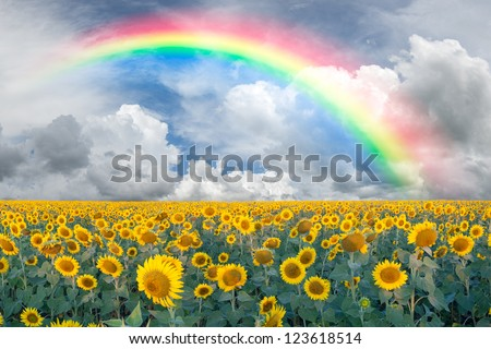 Summer beautiful landscape with big sunflowers field and blue sky with clouds and rainbow - stock photo