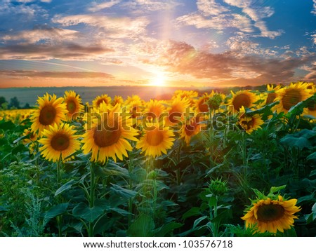 Summer beauty landscape with colorful sunset over sunflowers field - stock photo