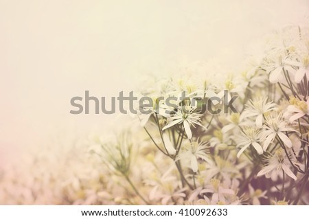 Summer blossoming clematis background, selective focus, toned