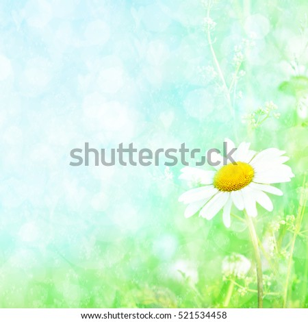 Summer blossoming daisies, chamomiles on meadow background, selective focus, shallow DOF, toned, light and heart bokeh background, pastel and soft card