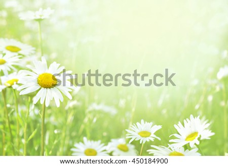 Summer blossoming daisies chamomiles on meadow, selective focus