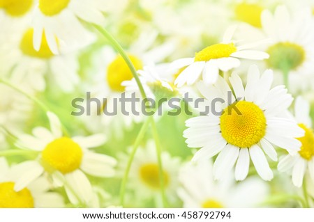 Summer blossoming daisies, chamomiles on meadow, selective focus