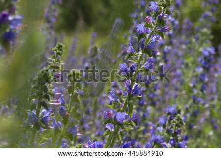 Summer blossoming lupins - stock photo