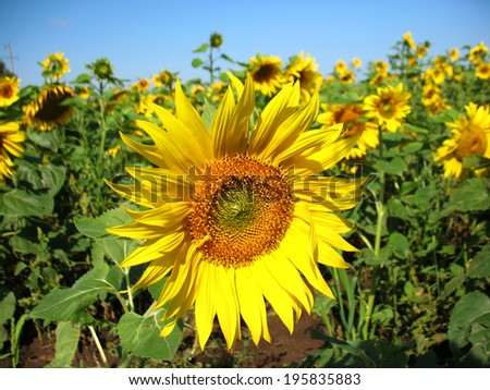 Summer  blossoming of  sunflower  and green leaves