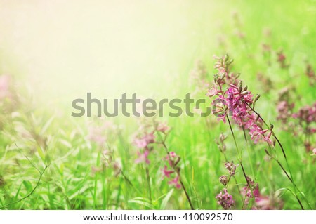 Summer blossoming sticky catchfly background, selective focus, shallow DOF - stock photo