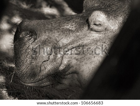 summer close-up portrait of the hippopotamus