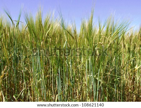Summer Cornfield - stock photo