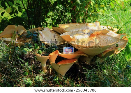 summer day in the bushes on the old stump,found enormous size wood beige mushroom,comparing the size of a match box.miracle mushroom,a huge tree fungus - stock photo