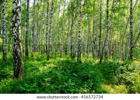 Summer day in the Siberian forest - birch and grass