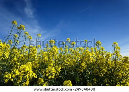 Summer day on colza field in north Poland.Pomerania province/Rape field - stock photo