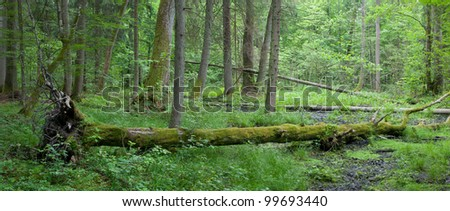 Summer deciduous stand of Bialowieza Forest with windstorm hornbeam tree broken lying among herbs and grasses - stock photo