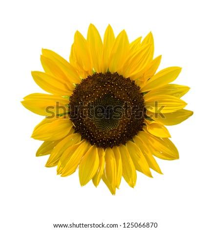 summer decorative sunflowers isolated on white background - stock photo