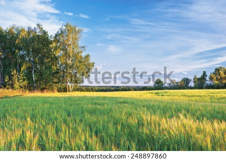 Summer evening. Barley field in Kaluga region of Russia - stock photo