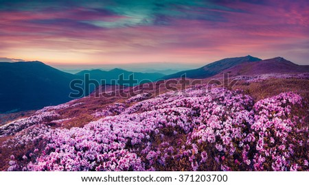 Summer evening scene in the Carpathians. Carpet of blooming rhododendron flowers covered mountain hills under a deep red sky. Pink filter toned. - stock photo