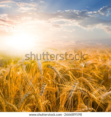 summer field at the sunset